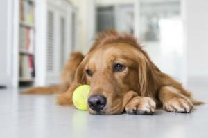 Infección fúngica (histoplasmosis) en perros