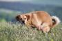 Síndrome del Intestino Irritable (SII) en perros: Síntomas, Causas y Tratamientos.