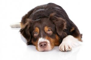 Envenenamiento por drogas en perros