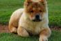 Bloqueo cardíaco (Mobitz tipo II) en perros