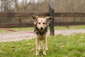 Exceso de hormona tiroidea en perros