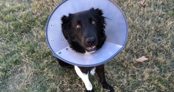 Infección por capillaria plica en perros