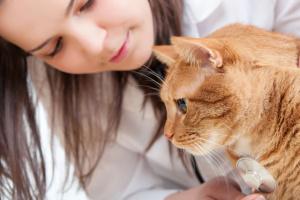 Envenenamiento con chocolate en los gatos
