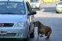 Cómo evitar que un perro persiga coches
