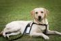 Heropatía, miopatía no inflamatoria en perros perdigueros de labrador
