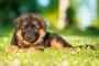 Plegamiento de los intestinos en perros