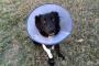 ¿Por qué los perros comen hierba?.¿Debería impedir con un cono?