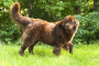 Desarrollo anormal del codo en los perros