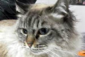 Cáncer de hueso (Fibrosarcoma) en Gatos