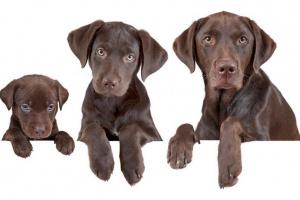 Años de perros: Como convertir la edad de su perro a años humanos
