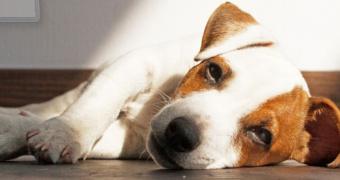 Los signos y riesgos de la Enfermedad Inflamatoria Intestinal en perros