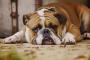Cómo saber si su perro tiene dolor y qué hacer para ayudar