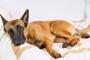 Icterus en perros