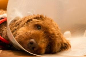 Dolor (agudo, crónico y postoperatorio) en perros