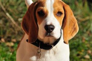 Lista de verificación de alimentos saludables: codorniz para perros