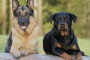Tumor testicular (célula de Leydig) en perros