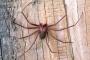 Envenenamiento por mordedura de araña reclusa marrón en perros