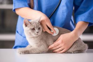 Cancer en la Glándula anal de los gatos