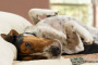 Shock debido a la disminución de la circulación en perros
