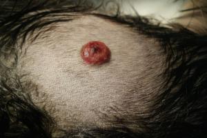 Tumores de piel grasa en perros