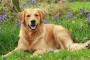 Tetralogía de Fallot en perros