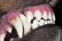 Fractura dental en perros