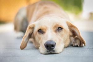 Infección bacteriana (tularemia) en perros