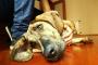 Cirrosis del hígado en perros: síntomas, causas y tratamientos.