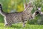 Depósitos de calcio en el tracto urinario en gatos