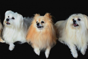 ¿Qué razas de perros pequeños son las más populares?
