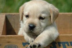 Neumonía (intersticial) en perros