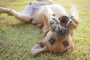 Papilomatosis en perros