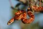 Las serpientes de maíz como mascota