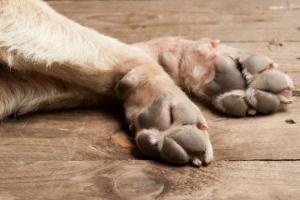Dermatitis del ácaro de la piel en los perros