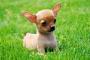 Envenenamiento por anticongelante en perros