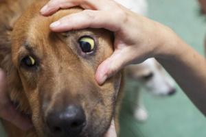 Ictericia (piel amarilla) en perros: síntomas, causas y tratamientos.
