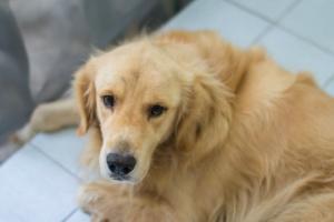Inflamación del esófago en los perros