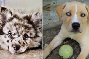Cáncer de piel (hemangiosarcoma) en perros