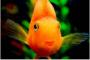 Infección de Ichthyobodo en el pescado