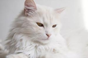 El pelo y la piel de un gato