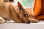 3 cosas que debes hacer si tu perro come chocolate