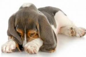 Enfermedad muscular metabólica sin inflamación en perros