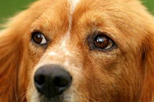 Cómo limpiar los ojos mocosos de un perro