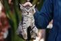 Como controlar el mal comportamiento en su gato, agarrándolo del cuello