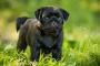 Deformidad del hueso del pecho en los perros