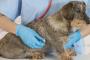 Endocarditis en perros: síntomas, causas y tratamientos.