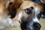 Cáncer de articulaciones (sarcoma sinovial) en perros