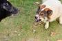 4 cosas que debes saber sobre el gruñido de perros