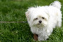 Cálculos renales (estruvita) en perros