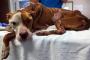 Enfermedad Inflamatoria Intestinal en Perros